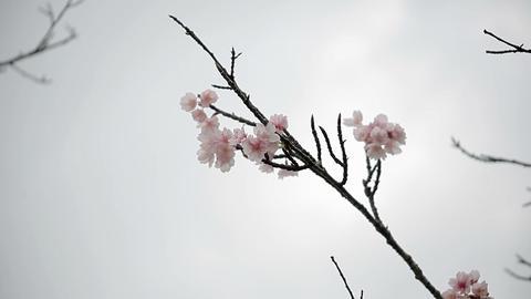 サクラ・ヤエa#8 sakura・yae_a#8桜 Footage