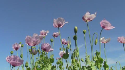Poppy stock footage