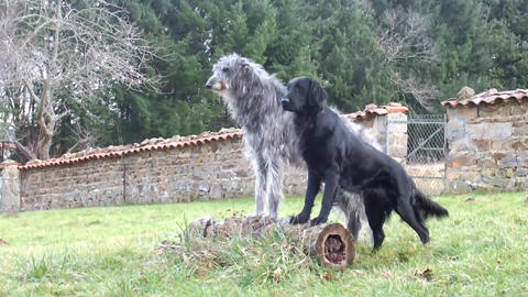 Scottish Deerhound and Flatcoated Retriever Stock Video Footage