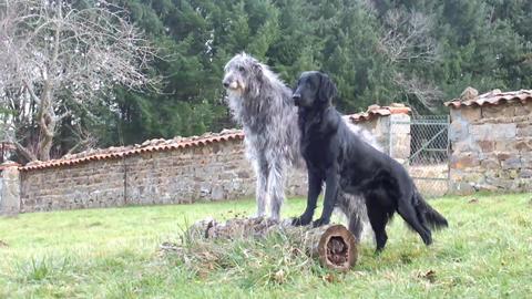 Scottish Deerhound and Flatcoated Retriever Stock Video Footage