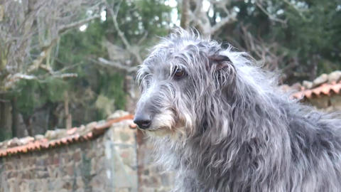 Scottish Deerhound Head Stock Video Footage