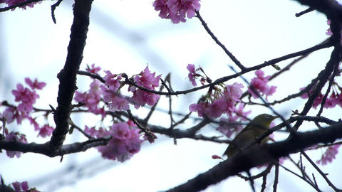 うぐいすと桜2 Stock Video Footage
