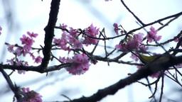 うぐいすと桜2 Stock Video Footage