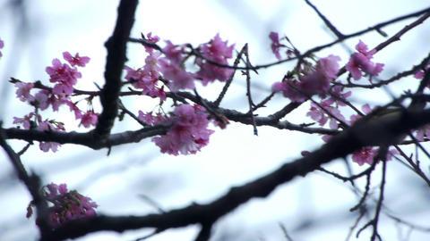 うぐいすと桜2 Footage