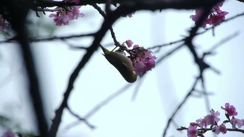 うぐいすと桜#4 Stock Video Footage