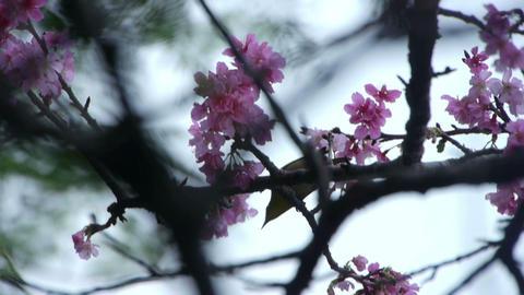 うぐいすと桜#4 Footage