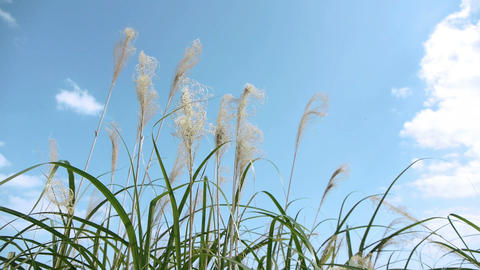 Pampas Grass and blue sky すすきと青い空 Stock Video Footage