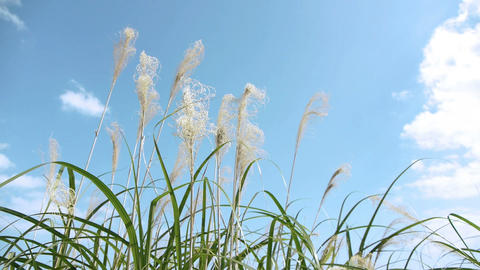 Pampas Grass and blue sky すすきと青い空 Footage