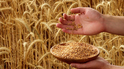 Hands and Grain Stock Video Footage