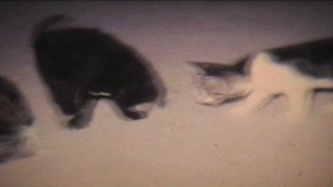 Kittens Playing 1968 Vintage 8mm film Stock Video Footage
