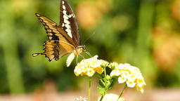 Beautiful Butterfly - Old World swallowtail Footage