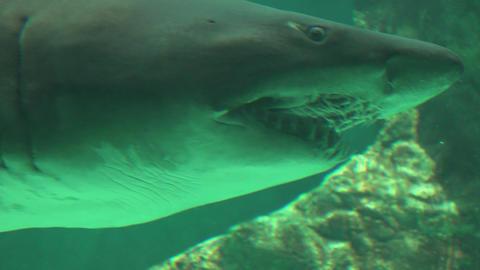 Big Shark Teeth And Gills Stock Video Footage
