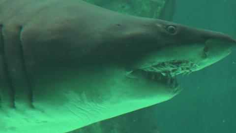 Big Shark Teeth And Gills Footage