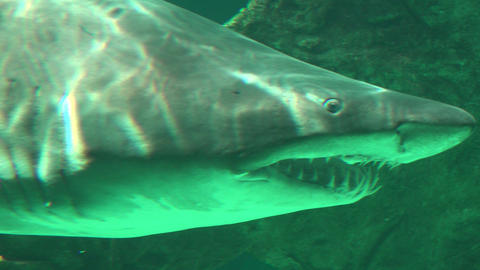 Shark With Sharp Teeth Swimming Live Action