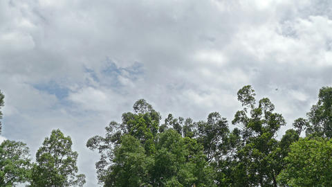 Flying foxes sleep on the big tree Footage