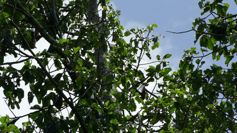 Flying foxes sleep on the big tree Footage