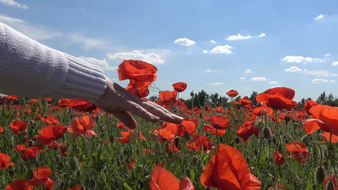 Blooming field of poppies in the area of Krasnodar. Russia Footage