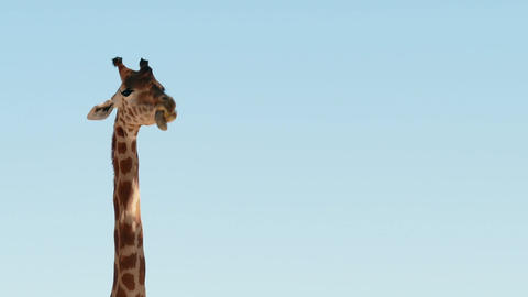 Giraffe Trying To Reach Tree Branch African Wildlife Wild Animal Footage