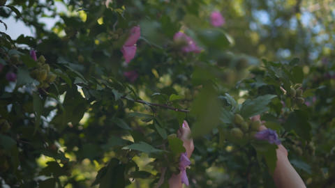 Close up of female hands touching purple hibiscus flowers. Female hands gently Footage