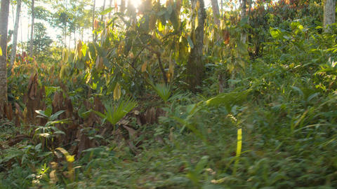 Tourist Woman Walking Through A Cocoa Plantation In The Amazon Rainforest Live Action