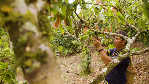 Indigenous Worker Inspecting Cocoa Fruits Live Action