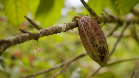 Detail Shot Of Flower And Cocoa Fruit Ecuador Live Action