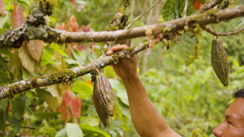 Indigenous Worker Inspecting Cocoa Fruits Detail Shot Live Action