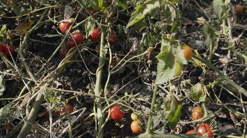 Slow motion shot of a ripe red organic tomatoes. Agriculture business, healthy Footage