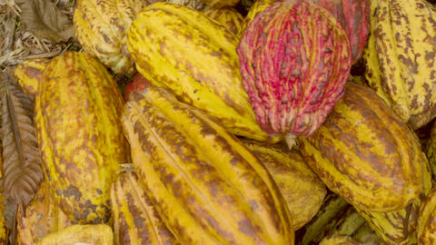 Cocoa Fruits Piled On The Ground Footage