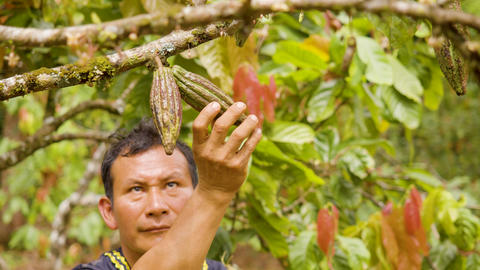 Indigenous Worker Inspecting The Growth Of Cocoa Fruits Live Action
