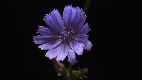 chicory flower on black background Live Action