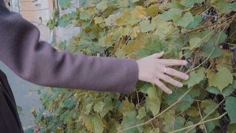 A girl in a purple coat holds her hand over the leaves of wild grapes. Wild Live Action