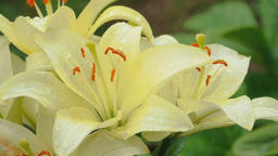 Ant on the petals of yellow lily Footage