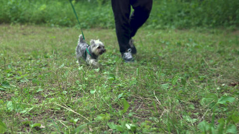 A little dog of Yorkshire terrier walks on a leash with the owner. Walk in the Live Action