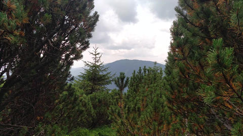Gentle wind moves tree Juniper path in mountain Hiking through Karpathians mountain near Lugi Live Action