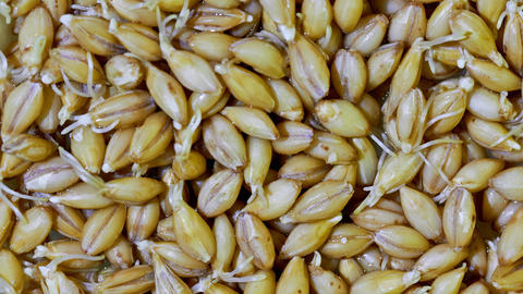 malted barley Live Action