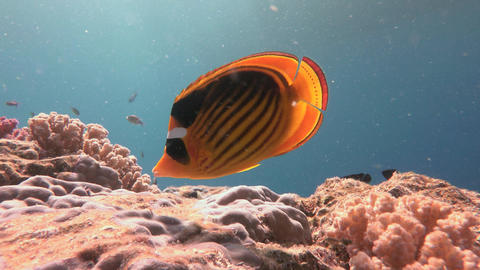 Butterfly fish. Beautiful colorful coral reef of Elphinstone. Diving in the Red Footage