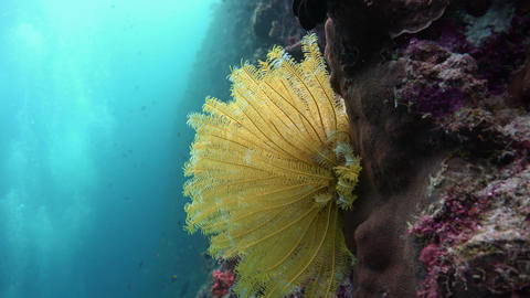 Picturesque colorful coral reef. Sea lily. Diving on the reefs of the Maldives a Live Action