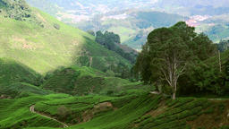Panorama view video of tea plantation landscape. Malaysia nature and travel dest Footage