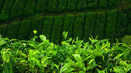 Zooming out video of tea plantation landscape with fresh leaves at foreground Footage