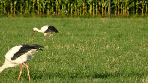 Storks eating on farmland Live Action
