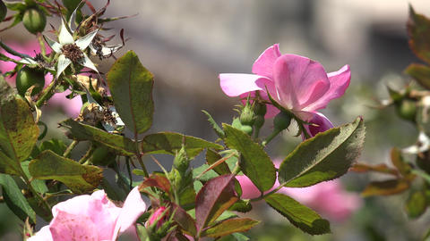 Pink Flowers And Plant Leaves Footage