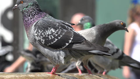 Pigeons Bathing And Drinking Water At Fountain Footage