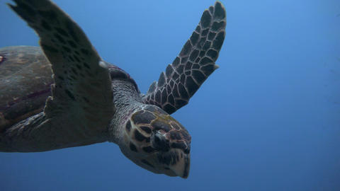 Diving in the Red sea near Egypt. The Hawksbill turtle hovering over a coral ree Live Action