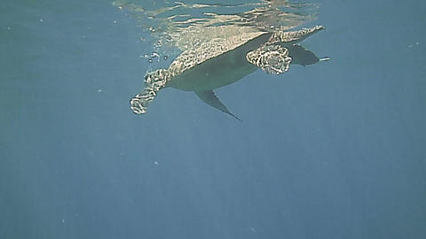 Green Sea Turtle swimming underwater in the blue Footage