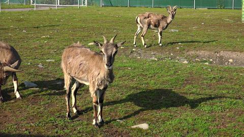Hoof herbivore with horns. 4K Footage