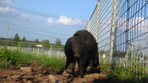 Small black boar. 4K Live Action