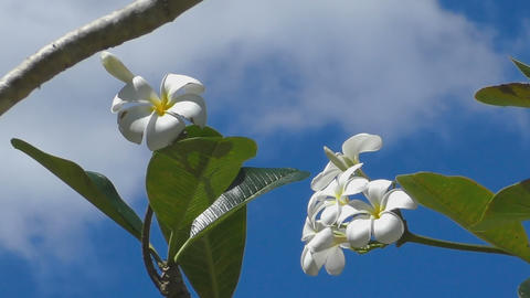 Plumeria flower, blue sky Footage