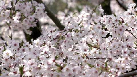 Hirakiyama Park Cherry Blossoms Live Action