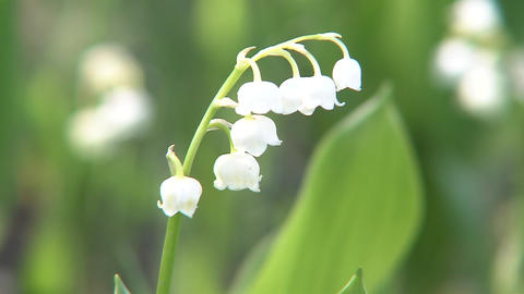 Lily of the valley Live Action